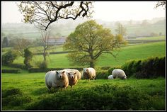 Sheeps......... by reaspring, via Flickr