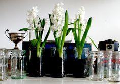 Hyacinth's in Vintage Fowler's Jars