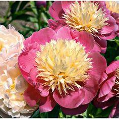 végétation courte, lumineuses fleurs rose vif aux pétaloïdes jaune clair, très odorantes. Version naine de la légendaire BOWL of BEAUTY,
