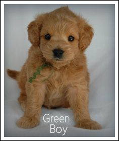 Lakeview Labradoodles & Goldendoodles / Nala's Tiny Petite Double Doodle Puppies/ Lakeview Doodles NY