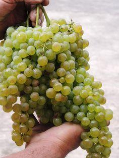 Dal grappolo... al bicchiere. #vendemmia #glera #prosecco #montelvini #asolo #uva