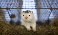 Fur flies in Norway over ban on mink and fox farms   Executive consents to segment out business that produces about a million pelts a yr because it seeks coalition deal  Mink and fox farms are to be banned in Norway after a central authority resolution to segment out the follow via 2025.: Diego Azubel/EPA  A plan via Norways govt to segment out fur farms via 2025 dismayed manufacturers and overjoyed animal rights activists as an indication that fur is out of style even in a country that was…