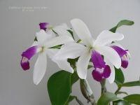 Cattleya violacea f. semi-alba