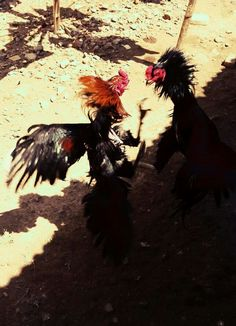 Game fowl, cock fighting