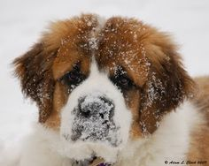 I love St. Bernards