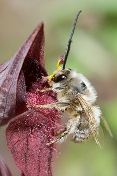 This photo shows a male of the European bee Eucera collaris (Apidae) leaving the floral tube of Serapias cordigera (Orchidaceae). Beautiful Bugs, Beautiful World, Bees And Wasps, Beetle Bug, Orchidaceae, Creature Feature, Save The Bees, Bee Happy, Crazy People