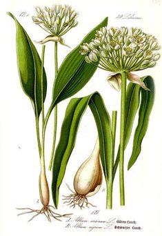 Bärlauch: leckeres Würzmittel, fantastisch für Darmflora und gut gegen Bluthochdruck. Wild oder im Garten, die Bärlauchsaison solltest du nicht verpassen!: