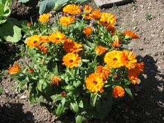 Container Gardening Vegetables, Succulents In Containers, Container Flowers, Container Plants, Vegetable Gardening, Verbena, Calendula, Petunias, Petunia Plant