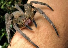 """Brazilian Wandering Spider… These huge, hairy creepy-crawlies are the eight species of the genus Phoneutria (Greek for """"murderess""""), considered to be the world's most venomous spiders. Anaconda Verde, Huge Spiders, Spiders And Snakes, Scary Spiders, Amazon Rainforest Animals, Poisonous Animals, Especie Animal, Scary Facts, Fun Facts"""
