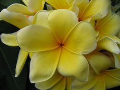 My MOST favorite plumeria flower.