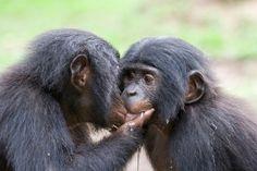 Happy #ValentinesDay from AWF! Kissing bonobo | Photo: Paul Thomson