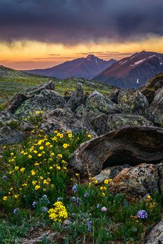 This morning I spent sunrise up on Trail Ridge Road. It was quite brisk with temps in the 40s and the wind blowing about 15mph. I found myself wearing my winter hat, gloves, and down jacket. Now, that's the perfect way to begin a summer day. The flowers up there are beautiful and made a perfect foreground for Longs Peak.