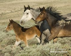 Three Run - from the Black Stallion's band in Wild Hoofbeats: America's Vanishing Wild Horses  www.LivingaimagesCJW.com