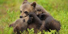 Der Kampf gegen das zweite Aussterben! Der WWF setzt sich dafür ein, dass in Österreich wieder eine überlebensfähige Braunbärenpopulation ein Zuhause findet. Dass Bären in Österreich friedlich mit Menschen gemeinsam leben können, hat der Erfolg der ersten Jahre bewiesen. Schließe jetzt eine Freundschaft mit den Braunbären und werde Pate: http://bit.ly/ILL0x1 © Wild Wonders of Europe / Staffan Widstrand / WWF