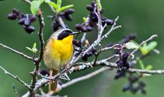 Monogamous male yellowthroat birds change their songs to match when neighboring females are fertile.