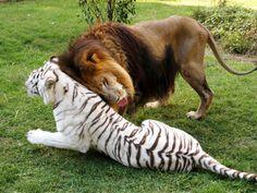 Leão e tigresa formam casal curioso em centro de felinos nos EUA                                                                                                                                                                                 Mais