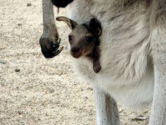 Kangaroo joey at Koala Park Sanctuary, Sydney, Australia~ Amazing place I am happy to say I have been