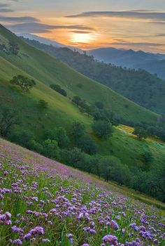 A carpet of lavender wildflowers at sunrise along the Caliente-Bodfish road in the Southern Sierra Nevada east of Bakersfield, California - By Mark Geistweite