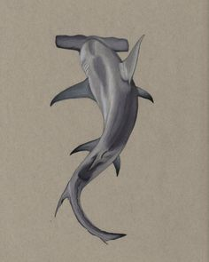 Hammerhead shark art drawn with Prismacolor colored pencils on strathmore toned gray paper Animal Drawings, Pencil Drawings, Drawings Of Sharks, Horse Drawings, Pencil Art, Hai Tattoos, Hammerhead Shark Tattoo, Shark Illustration, Shark Art