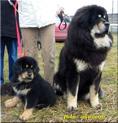 Tibetan Mastiffs = My newest addiction. I would pay anything to own one of these dogs. Gorgeous.