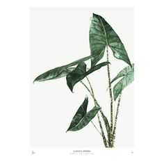 Urban Botanics: Alocasia Zebrina Art Print - 50 X 70cm: * New for 2017!* First launched in the UK last summer, our Urban Botanics print collection has been a best-seller and we're now very excited to introduce the new range of designs for 2017!  The Urban Botanics 2017 collection includes some of the most popular plants of 2016 + 2017: Alocasia Zebrina (Kris Plant or Elephant Ear), Ficus Lyrata (Fig), Howea (Kentia Palm), Meuhlenbeckia (Australian Ivy) + Strelitzia (Birds of Paradise)…