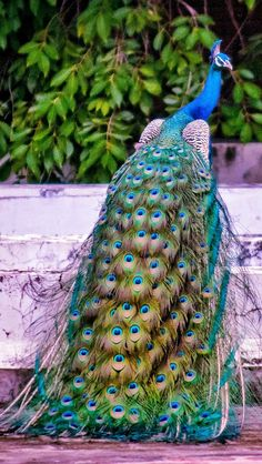 Que lindo Exotic Birds, Colorful Birds, Exotic Pets, Peacock Pictures, Bird Pictures, Most Beautiful Birds, Pretty Birds, Beautiful Creatures, Animals Beautiful