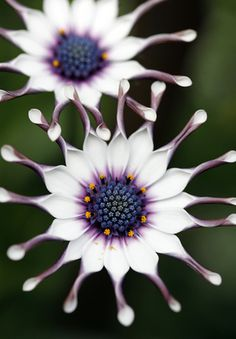 ✯ Osteospermum /African Daisey( annual)- I bought a pot last year. They are beautiful.