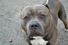 TO BE DESTROYED FRI. 11/14/14- Staten Island Center JABO - A1018974 *** NH ONLY *** MALE, BLUE / WHITE, PIT BULL MIX, 2 yrs STRAY - STRAY WAIT, NO HOLD Reason STRAY Intake condition EXAM REQ Intake Date 10/28/2014, From NY 10306, DueOut Date 10/31/2014,