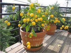 Árvores de Frutos em Vasos - Hortas Caseiras