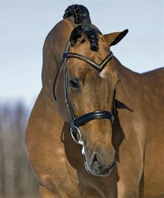 Lingh, KWPN stallion and trained by Edward Gal! (Beautiful browband, too!)
