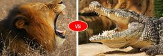 African lion vs Nile Crocodile fight