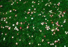 Flowering Ecolawn Mix, Gardenista