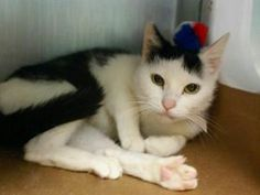 ***TO BE DESTROYED 07/22/17***AT SHELTER SINCE JUNE...SWEET & PETITE **SPAY ABORTED**  Pretty LULU is a young kitty who had been pregnant -  She needs a home!