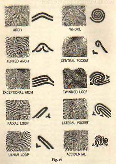 mapsinchoate: {Fingerprints as maps} Fingerprint patterns (OP) geneticist