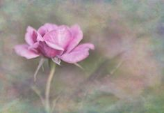 Title  The Rose   Artist  David and Carol Kelly   Medium  Photograph - Photograph