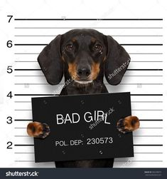dachshund sausage dog holding a police department banner , as a mugshot photo, at police office
