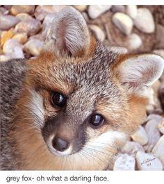 Grey fox - adorable face....