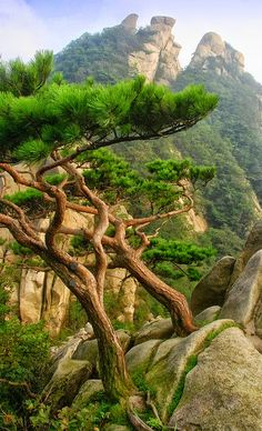 luisella munaron ~ trees out of the rocks