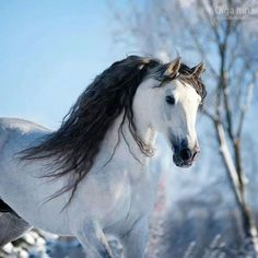This horse could not be any prettier. Striking white horse with grey markings and beautiful black full wavy mane. Just plain gorgeous! Horses for sale - Andalusian Horse Russia Dressage For sale Jarabo Horses And Dogs, Horses For Sale, Animals And Pets, Most Beautiful Animals, Beautiful Horses, Zebras, Photo Animaliere, Andalusian Horse, Friesian Horse
