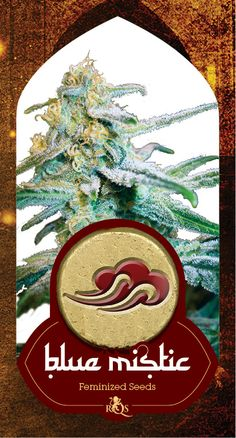Around the mountains and hills of Oregon and California, a crew of connoisseur cannabis breeders were working on some new strains, which would eventually lay the foundations in the North American marijuana varieties. Type: Sativa: 20% Indica: 80%, Yield 55-65 grams, Harvest month: October, Height of the plant: 80-120 cm, Genetic background: Blueberry x Northern Light, Effect: Stoned, Cannabinoid content: Extremely high, Flowering time: 9 weeks…