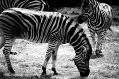 Zebra's hanging out at Werribee Open Range Zoo - Melbourne Australia. Photo taken by me.