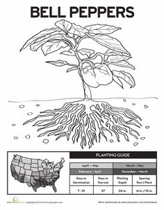 Worksheets: Planting Bell Peppers!