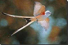 scissortail flycatcher | Scissortail Flycatcher... Aerial Ballet of the Scissortail by Bonnie T ...