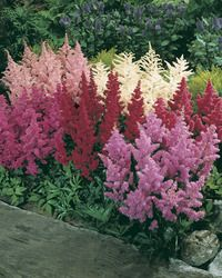Astilbe: Easy to grow, hardy, beautiful perennial  flower that likes shade