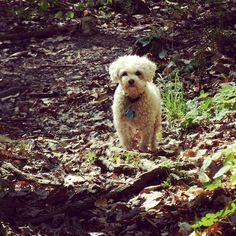 Spencer #dog #dogs #dogsofinstagram #cute #cutedogs #cutedogsofinstagram #animal #animals #animalsofinstagram #pet #pets #petsofinstagram #adorable #maltapoo #maltesepoodle  by kandibar87  http://bit.ly/teacupdogshq