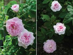 """Ispahan, a Persian damask. 'HedgerowRose' says: """"I had the great fortune of making this rose's acquaintance last June at the Rose and Fragrance garden. Ispahan, a Damask from sometime prior to 1832 (breeder unknown) is so beautiful I actually gasped when I saw it."""""""