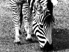 zebra by Agnes Flo Photography