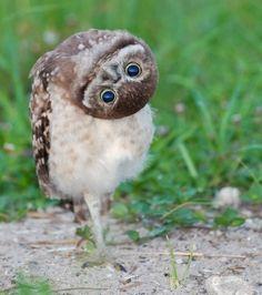 Looks like he's walking with his head upside down. A Walking Owl