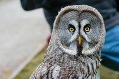 "Screech Owl Sanctuary: Great Grey Owl ""Voicey"""
