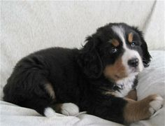 109 half juli, komt deze mooie pup, Torres, in ons gezin